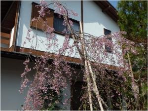 枝垂れ富士桜(その後)